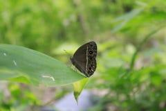 πεταλούδες πολλές Στοκ Εικόνα