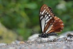 Πεταλούδες της Ταϊβάν Στοκ εικόνες με δικαίωμα ελεύθερης χρήσης