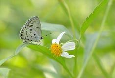 Πεταλούδες της Ταϊβάν Στοκ Φωτογραφίες