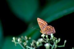 Πεταλούδες (το κοινό Punchinello) και λουλούδια στοκ εικόνα
