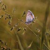 Πεταλούδες χαλκός-πεταλούδων Στοκ φωτογραφίες με δικαίωμα ελεύθερης χρήσης