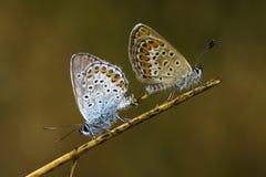Πεταλούδες χαλκός-πεταλούδων Στοκ Φωτογραφία