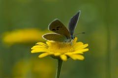 Πεταλούδες χαλκός-πεταλούδων Στοκ Εικόνες