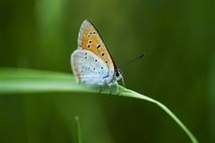 Πεταλούδες χαλκός-πεταλούδων Στοκ Εικόνα
