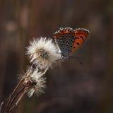 Πεταλούδες χαλκός-πεταλούδων Στοκ φωτογραφία με δικαίωμα ελεύθερης χρήσης