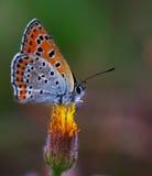 Πεταλούδες χαλκός-πεταλούδων Στοκ Φωτογραφίες
