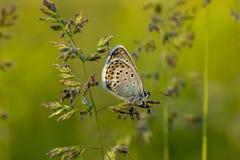 Πεταλούδες χαλκός-πεταλούδων Στοκ εικόνες με δικαίωμα ελεύθερης χρήσης