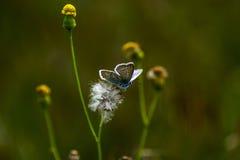 Πεταλούδες χαλκός-πεταλούδων Στοκ εικόνα με δικαίωμα ελεύθερης χρήσης