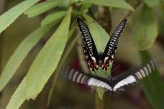 πεταλούδες δύο Στοκ φωτογραφίες με δικαίωμα ελεύθερης χρήσης