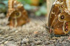 πεταλούδες δύο Στοκ εικόνες με δικαίωμα ελεύθερης χρήσης