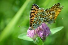πεταλούδες δύο Στοκ εικόνα με δικαίωμα ελεύθερης χρήσης