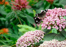 πεταλούδες δύο Στοκ Φωτογραφίες