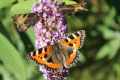 πεταλούδες στοκ εικόνες με δικαίωμα ελεύθερης χρήσης