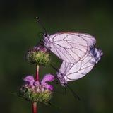 Πεταλούδες Belyanko lat Pieridae Στοκ Φωτογραφία
