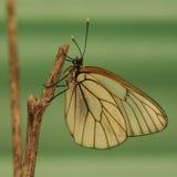 Πεταλούδες Belyanko lat Pieridae Στοκ Εικόνα