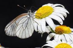 Πεταλούδες Belyanko lat Pieridae Στοκ εικόνα με δικαίωμα ελεύθερης χρήσης