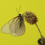 Πεταλούδες Belyanko lat Pieridae Στοκ εικόνες με δικαίωμα ελεύθερης χρήσης