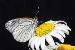 Πεταλούδες Belyanko lat Pieridae Στοκ Εικόνες