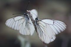 Πεταλούδες Belyanko lat Pieridae Στοκ φωτογραφίες με δικαίωμα ελεύθερης χρήσης
