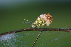 Πεταλούδες Belyanko lat Pieridae Στοκ φωτογραφία με δικαίωμα ελεύθερης χρήσης