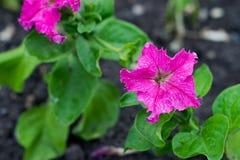 Πετούνια λουλουδιών Από τον πυρήνα κρυφοκοιτάζει έξω στίγμα Μετά από τη βροχή Στοκ Φωτογραφίες