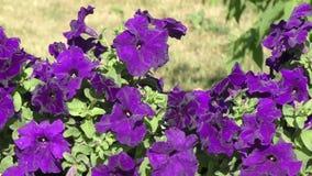 πετούνια λουλουδιών απόθεμα βίντεο