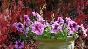 Πετούνια στον κήπο φθινοπώρου απόθεμα βίντεο