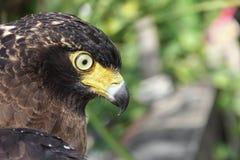 Πετρίτης γερακιών ή χρυσός αετός, κινηματογράφηση σε πρώτο πλάνο Στοκ Εικόνα