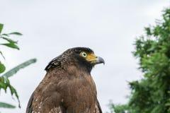 Πετρίτης γερακιών ή χρυσός αετός όμορφος Στοκ φωτογραφία με δικαίωμα ελεύθερης χρήσης
