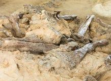 Πετρώνοντας bbones Hadrosaur Αλμπέρτα Καναδάς στοκ εικόνα