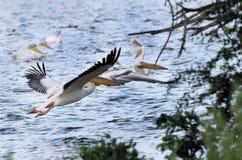 Πετώντας άσπροι πελεκάνοι Στοκ Εικόνες