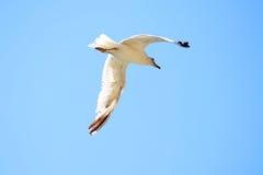 Πετώντας άσπρο seagull Στοκ Φωτογραφία