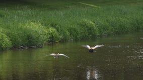 Πετώντας αιγυπτιακή χήνα Στοκ φωτογραφία με δικαίωμα ελεύθερης χρήσης