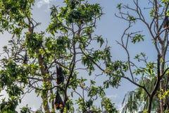 Πετώντας αλεπούδες στο δέντρο στη γωνία των οδών Abbott και Aplin Τύμβοι Αυστραλία στοκ εικόνα