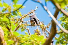 Πετώντας αλεπού ή αυστραλιανή ένωση ροπάλων φρούτων στο δέντρο Στοκ Εικόνα