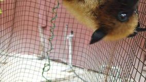Πετώντας αλεπού Σεϋχέλλες φιλμ μικρού μήκους