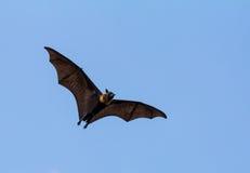Πετώντας αλεπού Στοκ φωτογραφία με δικαίωμα ελεύθερης χρήσης