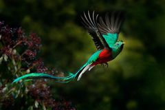 Πετώντας λαμπρό QUETZAL, mocinno Pharomachrus, Savegre στη Κόστα Ρίκα, με το πράσινο δασικό υπόβαθρο Θαυμάσιο ιερό πράσινο Στοκ φωτογραφίες με δικαίωμα ελεύθερης χρήσης