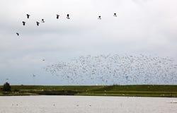 Πετώντας αργυροπούλια στο ολλανδικό πόλντερ Breebaart Στοκ εικόνες με δικαίωμα ελεύθερης χρήσης