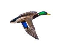 Πετώντας αρσενική πάπια πρασινολαιμών στο λευκό Στοκ Εικόνες