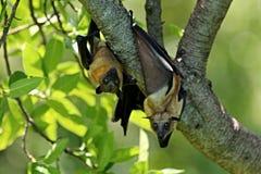 Πετώντας αλεπούδες σε ένα πράσινο δέντρο στον αφρικανικό βιότοπο φύσης Στοκ Εικόνες