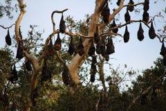 Πετώντας αλεπούδες Στοκ φωτογραφίες με δικαίωμα ελεύθερης χρήσης