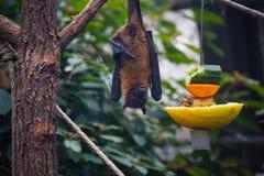 Πετώντας αλεπού ροπάλων φρούτων Στοκ Εικόνες
