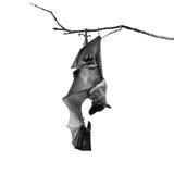 Πετώντας αλεπού Στοκ Φωτογραφία