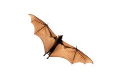 Πετώντας αλεπού στοκ εικόνες με δικαίωμα ελεύθερης χρήσης