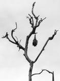 Πετώντας αλεπού Στοκ Φωτογραφίες