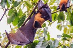 Πετώντας αλεπού Lyle, vampyrus Pteropus, lylei Pteropus ή Khangka Στοκ εικόνα με δικαίωμα ελεύθερης χρήσης