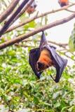Πετώντας αλεπού Lyle, vampyrus Pteropus, lylei Pteropus ή Khangka Στοκ εικόνες με δικαίωμα ελεύθερης χρήσης
