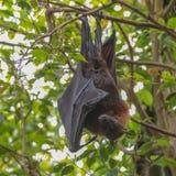 Πετώντας αλεπού (Pteropus) Στοκ φωτογραφία με δικαίωμα ελεύθερης χρήσης