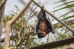 Πετώντας αλεπού (Pteropus) Στοκ εικόνες με δικαίωμα ελεύθερης χρήσης